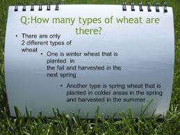 what is spring wheat by lauren walker and ally glover q what will you learn