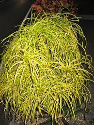 codiaeum u0027goldilocks u0027 yellow string u2014 vintage green farms