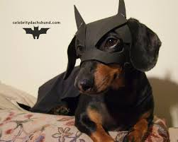 Halloween Costumes Wiener Dogs Batdog Returns Dark Dog Rises Batman Dachshund Follow