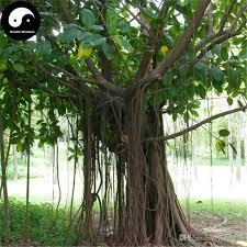 2017 buy real ficus altissima tree seeds plant ficus altissima
