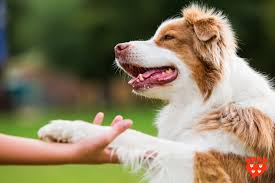 training a australian shepherd companion animal psychology what is positive reinforcement in dog