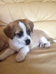 haircut ideas for long hair jack russell dogs best 25 jack russell dogs ideas on pinterest jack russell