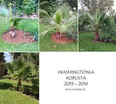 palmier du chili quel âge a mon palmier u0026 quelle est sa vitesse de croissance la