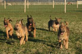 belgian sheepdog breeders indiana image gallery laekenois puppies