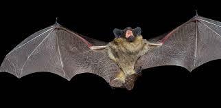 mammiferi volanti quali sono gli unici mammiferi volano ilsaputello it