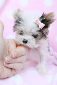 7002 best yorkie images on pinterest yorkies animals and puppies