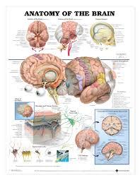 Visual Anatomy And Physiology Pdf Human Brain Anatomy And Physiology Human Anatomy Chart