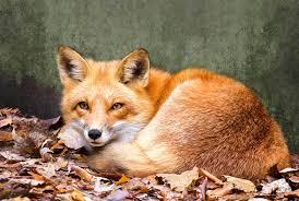 sleeping red fox wallpapers search results u0027fox u0027
