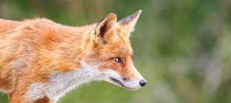 10 fantastic fox facts animalanswers co uk everything you need