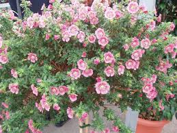 anisodontea capensis this prolific south african plant has been