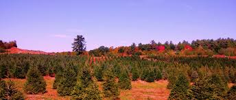 cut your own fresh christmas trees at laurel view farm laurel