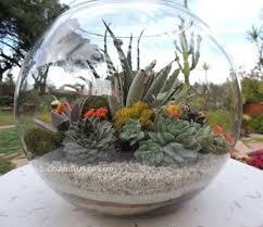 bubble succulent terrarium large san diego urban succulents