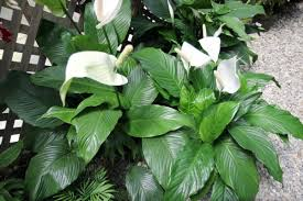 Tropical House Plants Names - 20 indoor house plants that simply adore shade