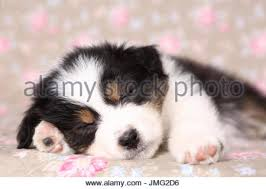 australian shepherd dog puppies australian shepherd dog puppy sleeping stock photo royalty