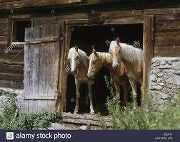 Stall Door Horses Haflinger Three Stall Door Opened Animals Mammals Horse