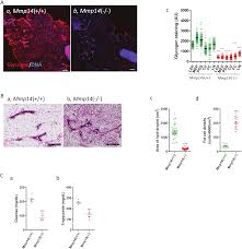 new insight into the role of mmp14 in metabolic balance peerj