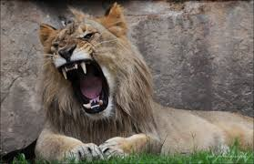 male lion wallpapers lion roaring wallpapers 77