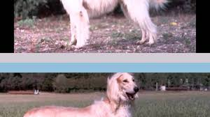 afghan hound saddle bakhmull video learning wizscience com youtube