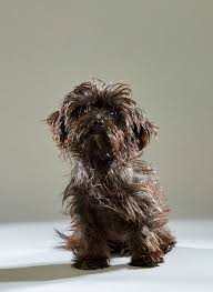 affenpinscher animal planet puppy bowl 2016 preview a skunk referee and cheerleader