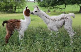 exotic animals llamas stalder exotics llamas llamas for sale exotic animals