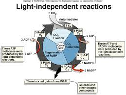 Where Do The Light Independent Reactions Occur 4 Gb 06 Photosyn Spr2003