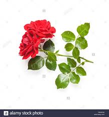 path blooming red roses on stock photos u0026 path blooming red roses