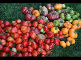 growing tomatoes tips with organic soil in vegetable garden how to