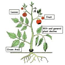 Plant Disease Diagnosis - tomato key