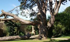 tree that inspired lord of the rings to be chopped nature
