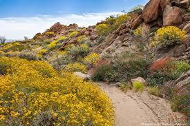 Flowers Anza Borrego A Real Desert Garden Photobotanic