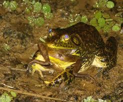 live bullfrog trade implicated in amphibian killing disease