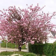 Abris De Jardin Cerisier by Cerisier Du Japon U0027kanzan U0027 Plantes Et Jardins