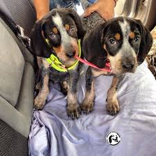 bluetick coonhound apparel 27 best coon hounds images on pinterest hound dog bluetick
