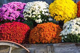 time for fall flowers 3 quart mums are just 4 at lowe u0027s dwym