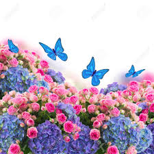 garden wiht fresh pink roses and blue hortenzia flowers and
