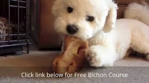 bichon frise long legs how to house train a bichon frise puppy youtube