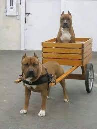 american pitbull terrier z hter deutschland 52 best pitbulls images on pinterest animals pitt bulls and dogs