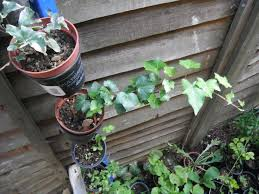 plants for sale english ivy plants in north london london gumtree