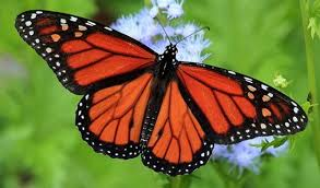 feds consider endangered species listing for monarch butterfly