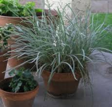 best water wise ornamental grasses for gardens