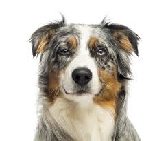 australian shepherd outline australian shepherd dog breed information continental kennel club