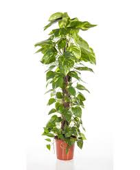 buy house plants now scindapsus bakker com