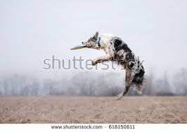 australian shepherd jumping aussie stock images royalty free images u0026 vectors shutterstock