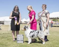australian shepherd kennel club 2016 usasa specialty results scottsdale kennel club