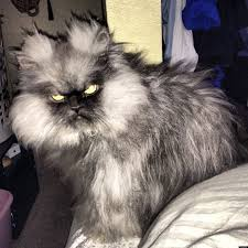 Colonel Meow Memes - colonel meow angriest cat in the world wants you to spread the