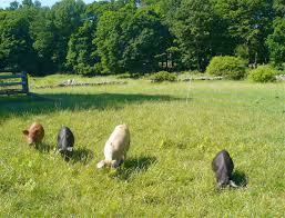 the hickories a local organic farm in ridgefield ct the hickories