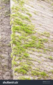 climbing plants on concrete wall stock photo 98398025 shutterstock