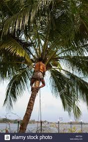 indian man climbing coconut tree stock photos u0026 indian man