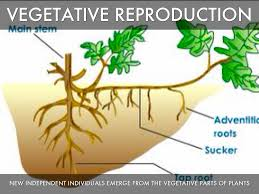 Vegetative Propagation By Roots - asexual reproduction by nikki