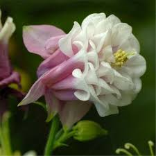 Columbine Plant Aliexpress Com Buy European Columbine Seeds Aquilegia Vulgaris